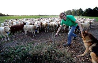 Productie+schapenmelk+verdubbelt+in+dertig+jaar