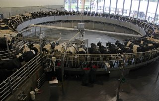Massey Ferguson trekt veel bezoekers naar Vrebamelkvee