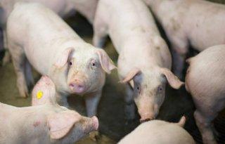 Varkens+in+Nood+beticht+varkenshouderij+van+fraude