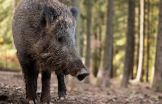 Afrikaanse+varkenspest+weer+dichter+bij+Duitse+grens