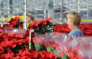 Drukte+bij+kerststerrenkweker+in+Honselersdijk
