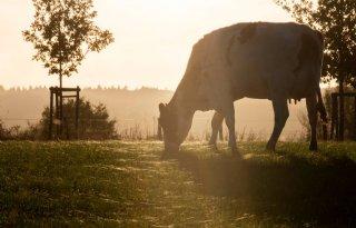 Inkomen+melkveehouder+daalt+met+6%2E400+euro