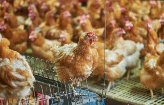 GD onderzoekt groei reovirus in pluimvee