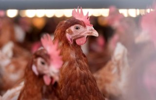 Nog+steeds+geen+geco%C3%B6rdineerde+bestrijding+Belgische+vogelgriep