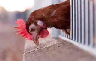 Iedere kip krijgt persoonlijk voedingsprogramma