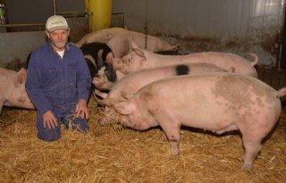 Dit+jaar+100%2E000+biologische+varkens+geslacht