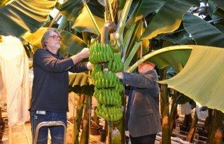 Eerste+Nederlandse+bananenoogst