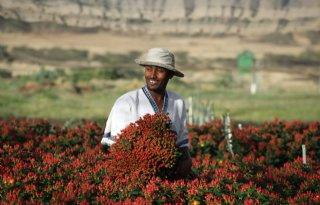 Vloet kweekt bloemen in Kenia, Ethiopië en Colombia