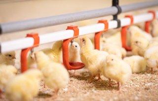 Controle+bij+vleeskuikens+en+kalkoenen+om+H3N1