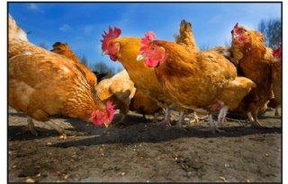 Belgen+testen+extra+op+vogelgriep