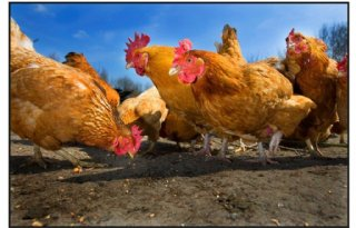 Belgi%C3%AB+roept+eieren+terug+vanwege+dioxine
