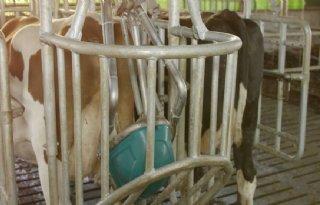 Koeientoilet+beperkt+ammoniakprobleem