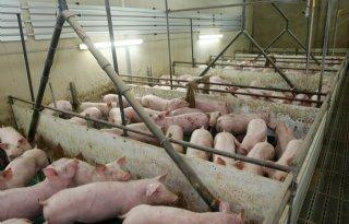Duitse varkenshouderij krimpt ook dit jaar