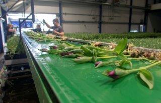 Zelfstandig bloeiend tulpenbedrijf opgebouwd