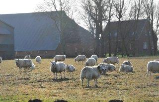 Vlotte+schapenhandel+brengt+te+weinig+op