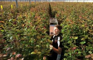 TV: Valentijnsdrukte voor rozenkweker