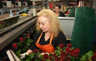 Valentijnsdag+zorgt+voor+drukte+bij+rozenkwekers