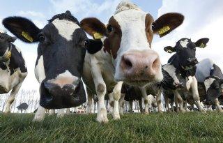 Kabinet+wil+vrijwillige+sanering+veehouderij