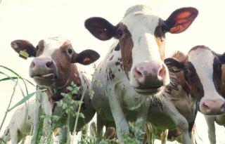 Melkproductie+onder+druk