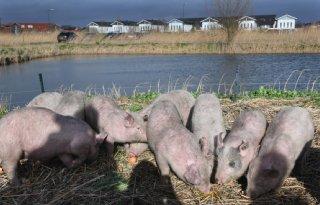 Varkens+moeten+ganzen+bij+Houten+in+toom+houden