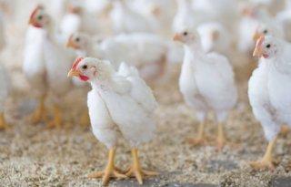 Geen+acute+problemen+voor+pluimveehouderij