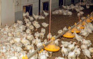 Inkomen+vleeskuikenhouders+niet+afhankelijk+van+concept