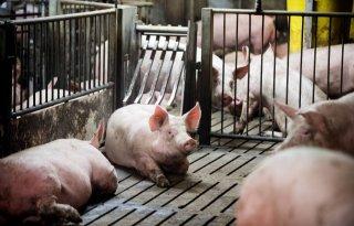 Daling+varkensslachtingen+in+Duitsland+zet+door