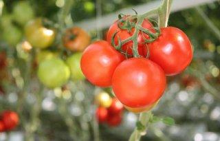 Wageningen+stapt+in+groot+Europees+tomatenonderzoek