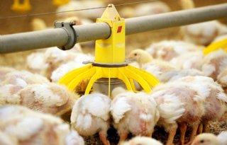 Pluimveehouder: \'Eieren zijn niet aan te slepen\'