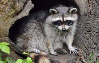 Limburg opent jacht op wasbeer