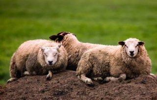 Golf+van+bijtincidenten+bij+Drentse+schapen
