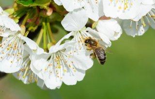Neonics schaden nuttig insect ook via honingdauw