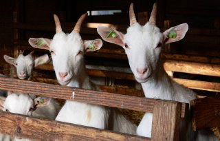 Friesland+stemt+tegen+verlenging+geitenstop