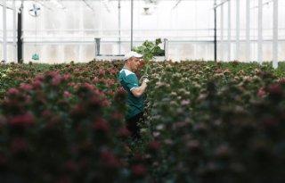 Glastuinbouw+werkt+aan+masterplan+internationale+werknemers