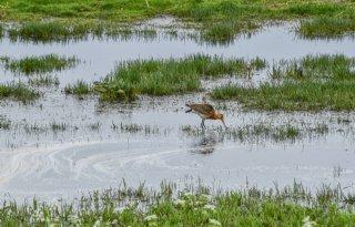 Alblasserwaard voorbeeld van weidevogelbeheer