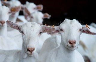 Inkomen+geitenbedrijven+stijgt+door+hogere+melkprijs