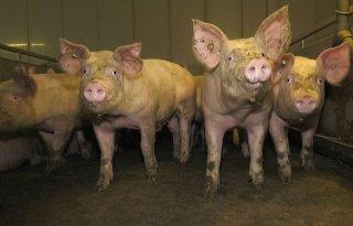 Dirk+Dekker+levert+eerste+%27slachtblikvrije%27+varkens