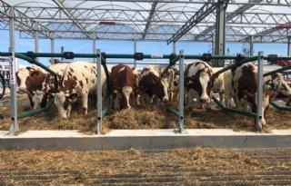Koeien+gestald+op+drijvende+boerderij