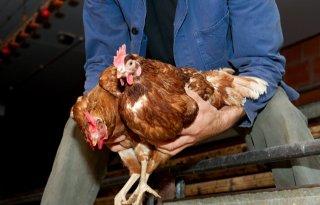 Veel+animo+voor+alternatieve+kippenvangmethode