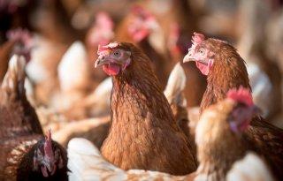 Verlaging+importheffing+eieren+bedreigt+pluimveesector