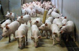 Ruim+half+miljoen+varkens+minder+in+Denemarken