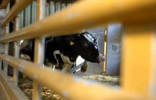 Eenduidigheid+bij+vervoer+van+wrak+vee