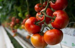 Azura+Groep+produceert+CO2%2Dneutraal+tomaten