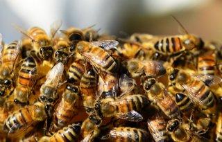 TV: Bijenpopulatie neemt toe op platteland
