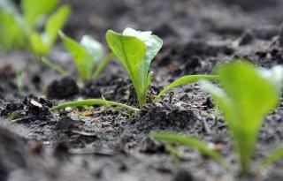 Ruim 900 hectare suikerbieten opnieuw gezaaid