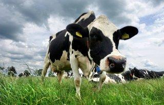 Alarmbellen+rinkelen+rond+inteelt+Holsteins