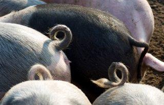Meer+oog+voor+varken+helpt+intacte+staart