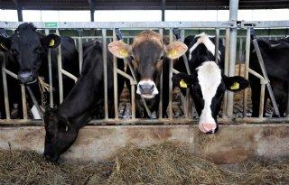 Melkveehouders+wachten+op+impact+droge+weer