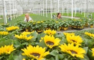 Potzonnebloemteler 'hobbelt redelijk goed' naar biologisch