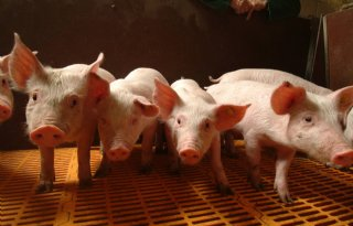 Minder+varkensboeren%2C+blijver+investeert+volop